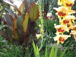 Cana Lilly 16 Best Canna Lillies Images On Pinterest Gardens Canna Lily