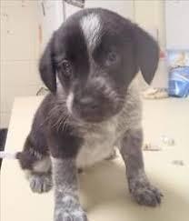 blue heeler x australian shepherd australian shepherd blue heeler mix puppies for sale cute baby
