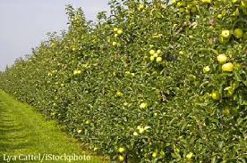 Flowering Privacy Shrubs - edible privacy hedges create a natural privacy fence you can eat