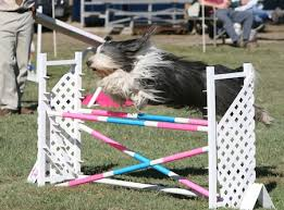 australian shepherd in labor dog events across the u s this labor day weekend american
