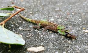 anole annals your source for the latest on anolis lizards page 2