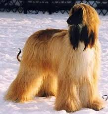 afghan hound grooming styles afghan hound puppy pictures dogs pinterest afghan hound