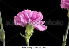 Purple Carnations Gently Purple Carnation Isolated On White Background Stock Photo