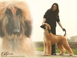 afghan hound giving birth interview kharasahnsky afghan hounds