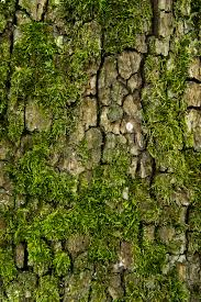 tree bark and moss stock image image of knot forrest 41554785