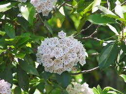 plants native to utah mountain laurel information u2013 how to grow a mountain laurel shrub