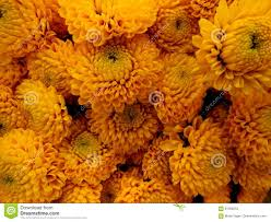 mums flower golden mums stock image image of background yellow 91269253