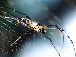 giant wood spiders nephila maculata