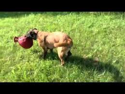 belgian shepherd x greyhound learning to lure course greyhound belgian malinois mix puppy youtube