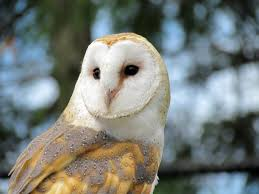 North American Barn Owl Barn Owls In Vancouver Struggling To Adapt As City Grows Study