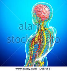 Human Anatomy Upper Body Rear View Of The Upper Body With The Nervous System And Brain