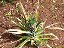 Bermuda Botanical Gardens Pineapple Picture Of Bermuda Botanical Gardens Paget Parish
