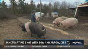 black friday bow and arrow st helens man arrested for shooting killing pig with bow and