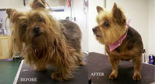 yorkie hairstyles yorkie haircut exles types yorkies haircuts image search results hairstyles ideas