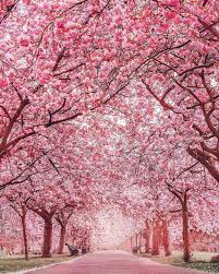 bucket list moment cherry blossom japan picture by