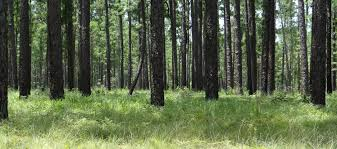 Texas forest images Ser texas chapter jpg