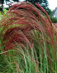 get cheap best ornamental grass aliexpress alibaba