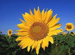 salina ks sunflower field by kansas state university phamilyblog k is for kansas