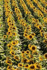 salina ks sunflower field by kansas state university 52 best around colby kansas images on pinterest kansas usa