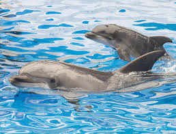 dolphins u0027 immune systems are failing due to polluted oceans the