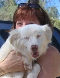 mini australian shepherd 6 months nor cal aussie rescue adopted
