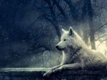 imagenes de fondo de pantalla lobos fondos de pantalla de lobos