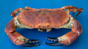 cuisiner un tourteau cuisiner le crabe tourteau conseils de préparation et recette