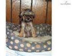 affenpinscher texas view ad affenpinscher puppy for sale missouri kansas city usa