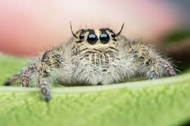 jumping spiders court color sciencedaily