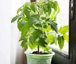 light requirements for growing tomatoes indoors how to grow tomatoes indoors