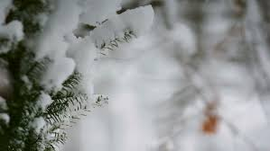 up of snow covered pine tree with snow falling stock