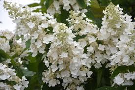 Shrub Small White Flowers - free photo flowers small white flowers free image on pixabay