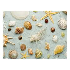 assorted seashells seashell postcards zazzle