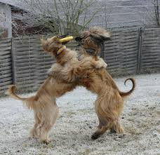 afghan hound king of dogs 645 best afghan hounds in motion images on pinterest afghans