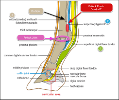 Foot Tendons Anatomy Bottom Of The Foot Tendons Human Anatomy Charts