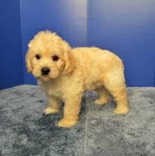 affenpinscher venta mexico labradoodle puppies for sale