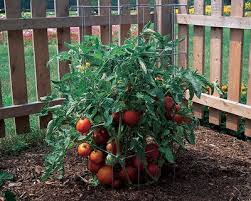 Tomatoes Trellis The Most Reliable Tomato Cages Trellises Rodale U0027s Organic Life