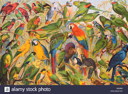 lithograph parrot parakeet macaw psittacines psittaciformes stock