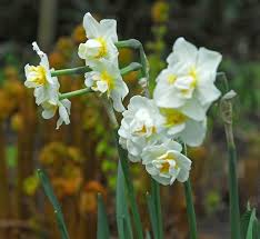 Ideas For Daffodil Varieties Design Best Spring Blooming Bulbs For Warm Climates