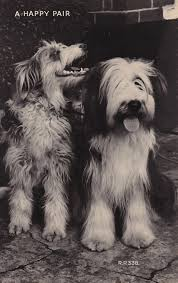 bearded collie brown a lifetime of friendship u2026 the bearded collie u201d bearded collie
