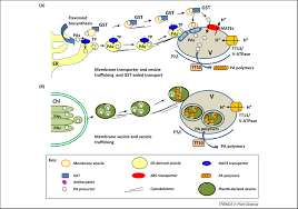 flavonoid transport mechanisms how to go and with whom trends