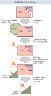 control of the cell cycle biology i