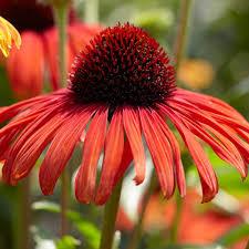 echinacea flower echinacea butterfly postman white flower farm
