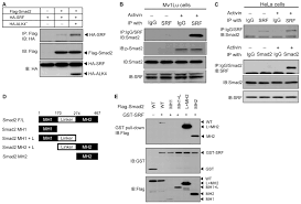 Anti Flag Antibody Negative Regulation Of Activin Nodal Signaling By Srf During