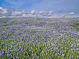 Bluebonnet Flowers - field of bluebonnets ken hurst photography