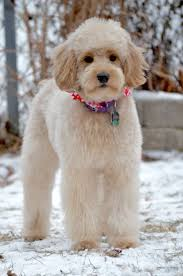 haircutsfordogs poodlemix 25 best tiboodle images on pinterest goldendoodle grooming