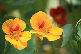 nasturtium flowers the various health benefits and uses of nasturtiums caloriebee