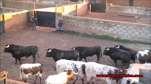hierroydivisa embarque de los toros de d samuel flores para la
