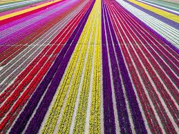 unreal aerial view of turkey u0027s tulip fields the courier mail