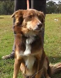 australian shepherd x kelpie a kelpie dog and loyalty our dogs and us